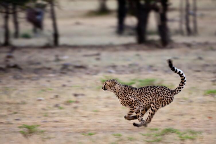 Бегущий гепард в Намибии
