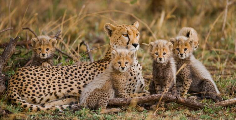 Семья гепардов