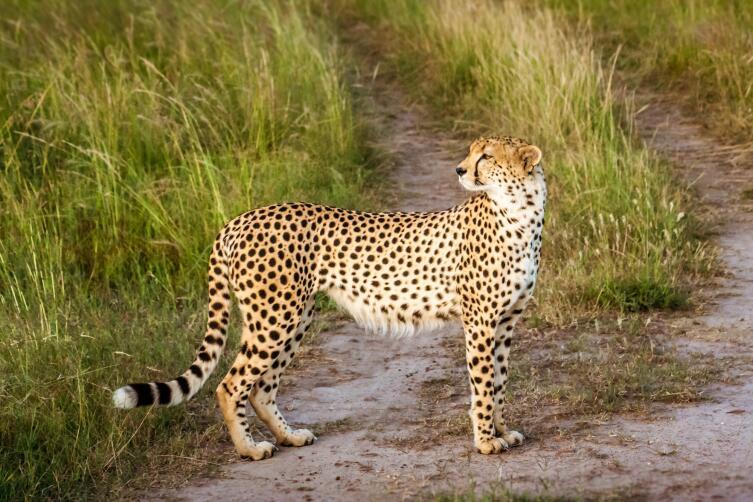 Гепард: как живется спринтеру из семейства кошачьих?