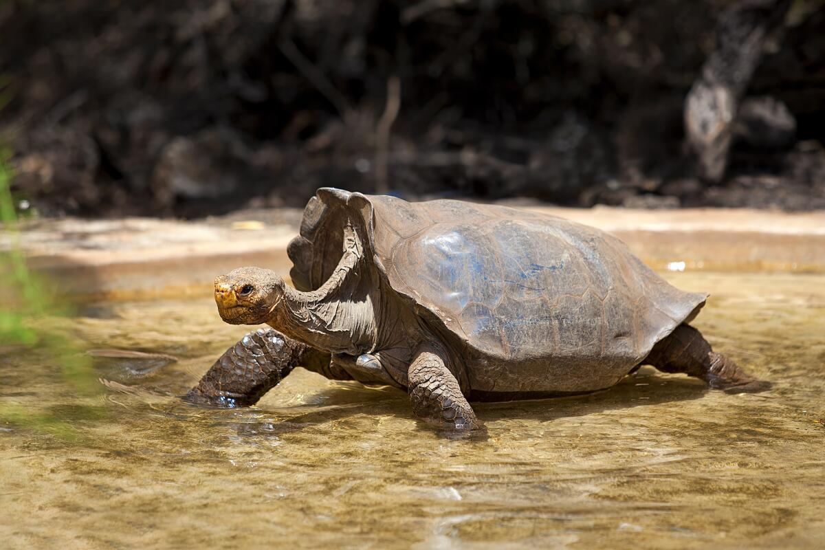Как удалось сохранить популяцию галапагосских черепах?