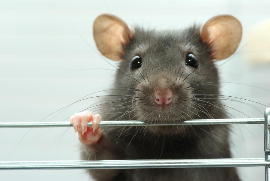 Как живут и что умеют крысы? Интересные факты о неприятных грызунах
