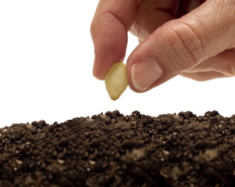 Как вырастить дыни на подмосковной даче?