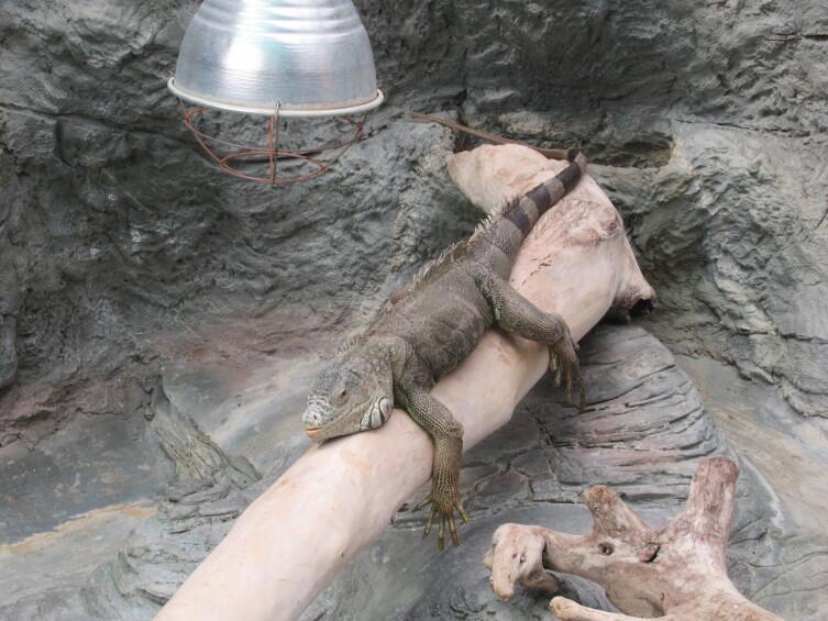 Игуана, греющаяся под лампой