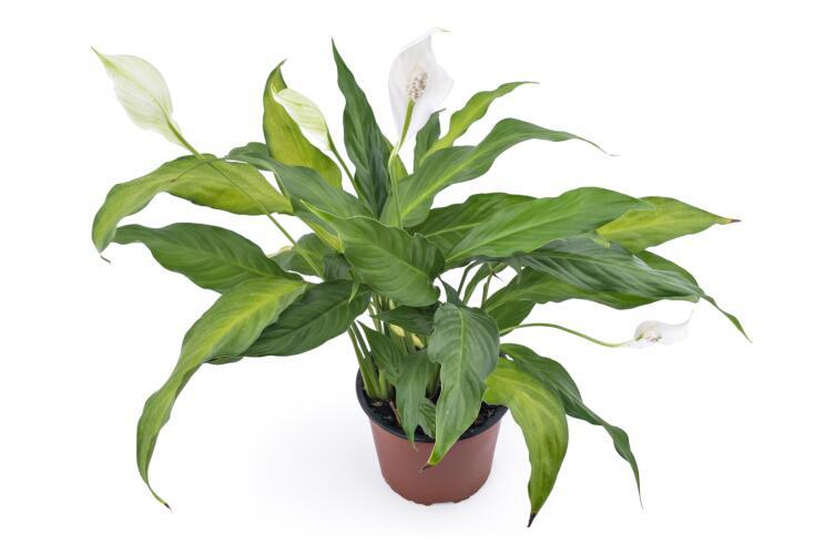 Какое растение может подарить своей хозяйке женское счастье? Спатифиллум