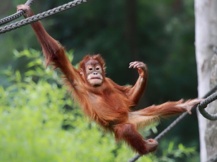 Почему орангутан оказался на грани вымирания?