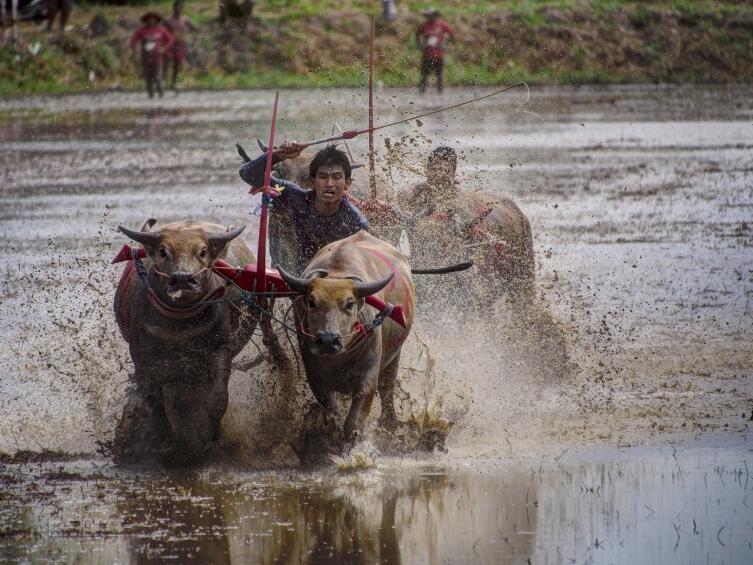 Где проводятся гонки на быках?