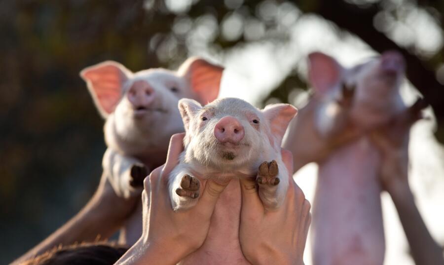 Как мне свинью подложили? Три поросенка и гонки с ветерком