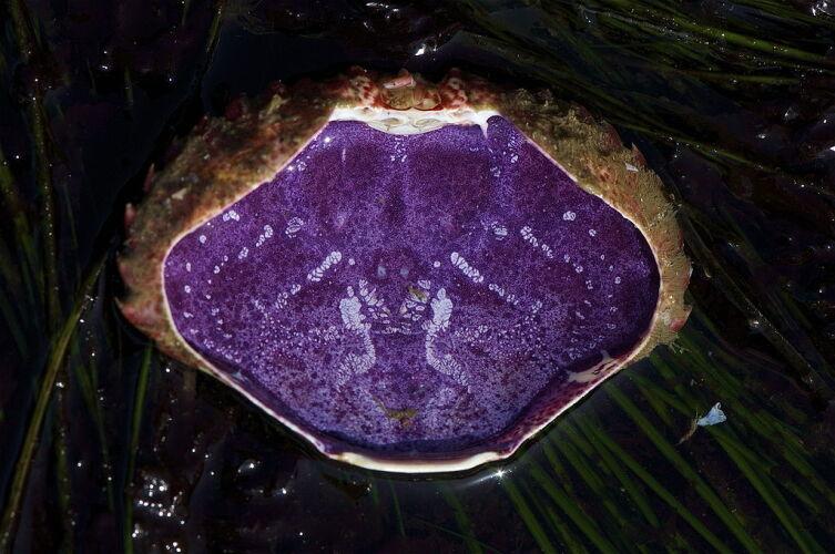 Внутренняя поверхность панциря краба Cancer productus окрашена гемоцианином в фиолетовый цвет