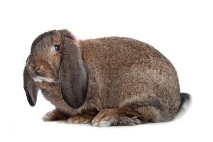 Разжигают ли кролики вожделение? Рэбик - пуп семьи