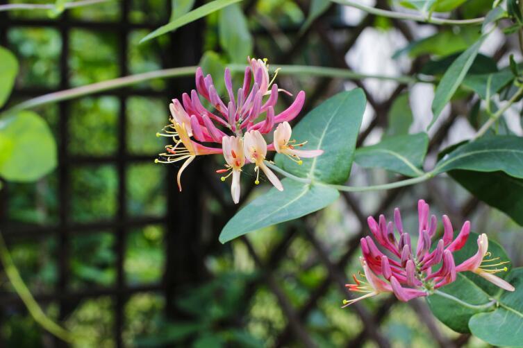 Цветок вечной любви – жимолость. Чем она привлекательна для садовода?