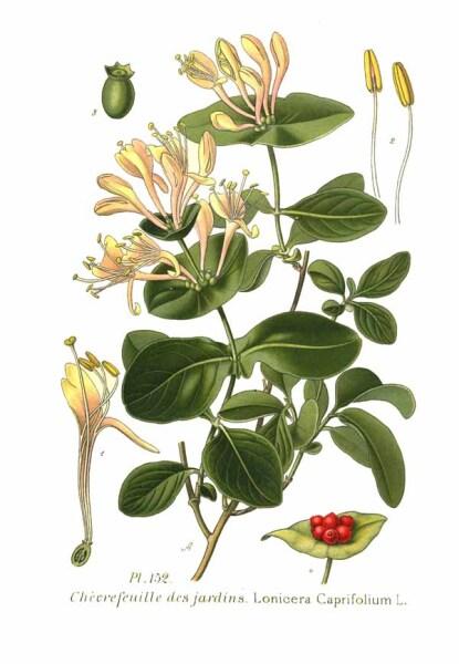 Жимолость каприфоль, ботаническая иллюстрация, 1891 г.