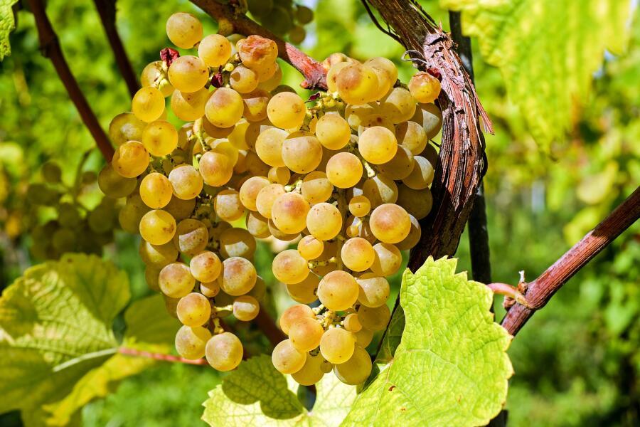 Что можно услышать через виноградную лозу?