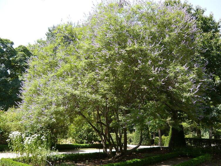 Авраамово дерево
