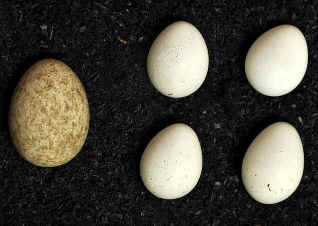 Яйцо кукушки в кладке крапивника