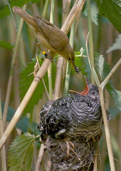 Тростниковая камышовка кормит птенца кукушки