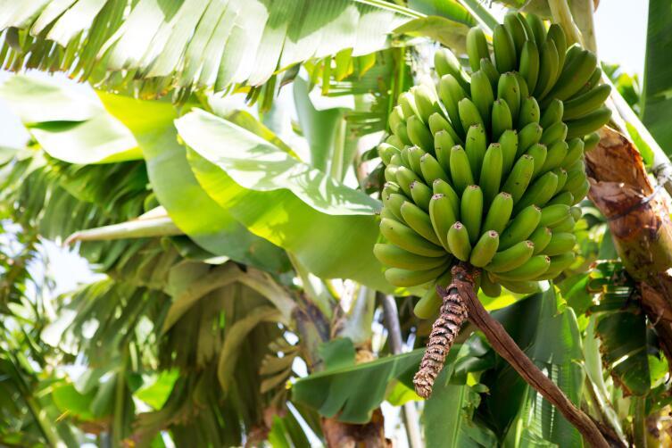 Банан - это ягода!
