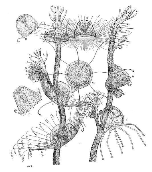 Медуза нутрикула