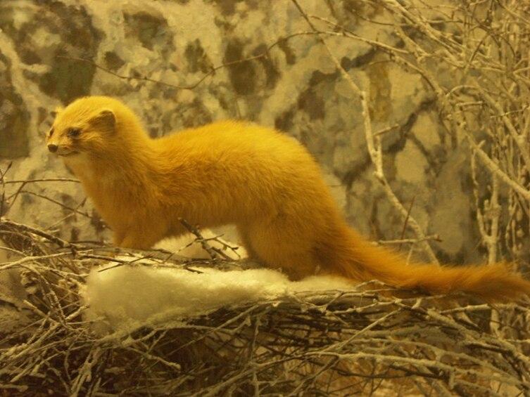 Колонок, чучело в зоологическом музее г. Санкт-Петербурга
