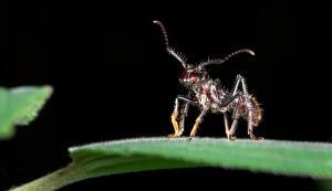 Какие муравьи в бассейне Амазонки самые агрессивные?