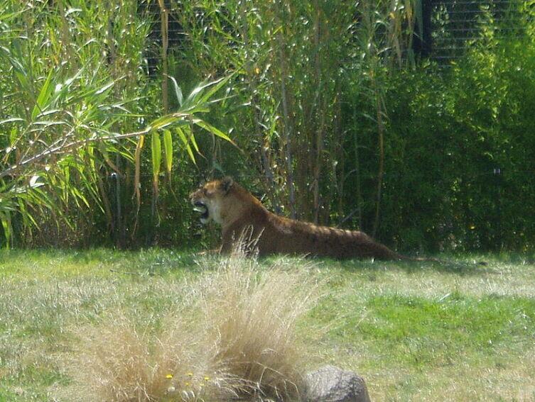 Тигролев в Национальном Океанариуме и Зоопарке в Канберре, Австралия