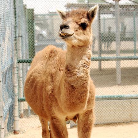 Верблюлама - кама