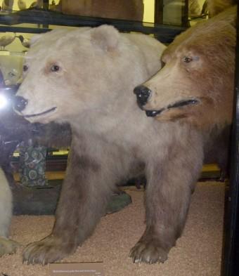 Чучело пиззли - гибрида белого и бурого медведей