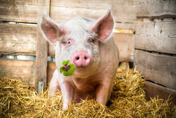 Может ли свинья быть настоящим другом человеку?