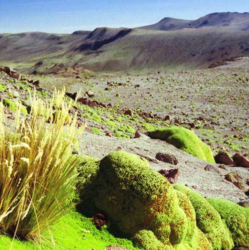 Подушки яреты в Перу
