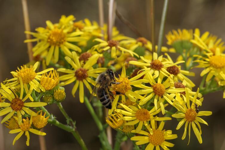 Как пчелы общаются друг с другом?