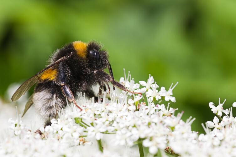 Если корм далеко, пчела не будет тацевать