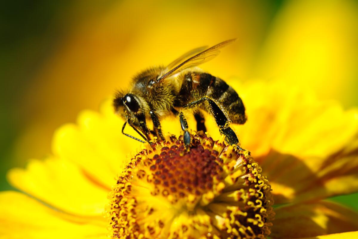 Медовая госпожа. Чем интересны безжальные пчёлы? | Животные | ШколаЖизни.ру