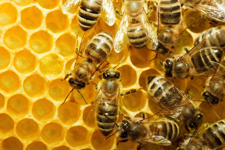 Гнезда безжальных пчел устроены не так, как у обычных