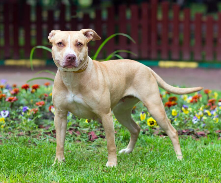 Бойцовская собака - друг или враг человеку?