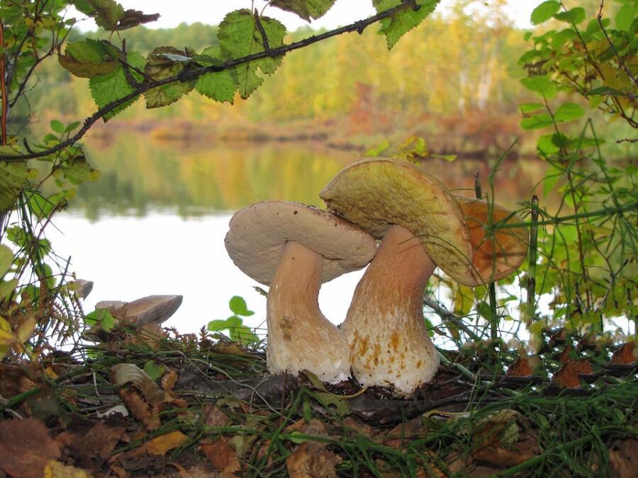 Как собирать грибы? В ритме вальса!