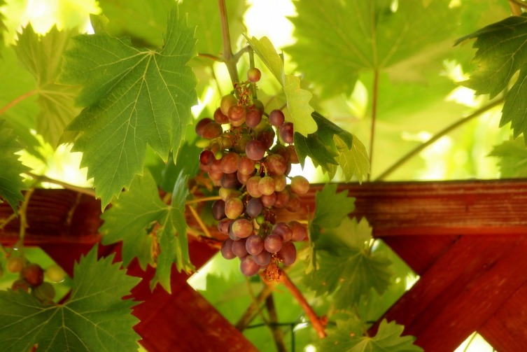Как вырастить саженцы винограда? Личный опыт
