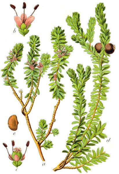 Водяника чёрная. Ботаническая иллюстрация Якоба Штурма из книги «Deutschlands Flora in Abbildungen», 1796 г.
