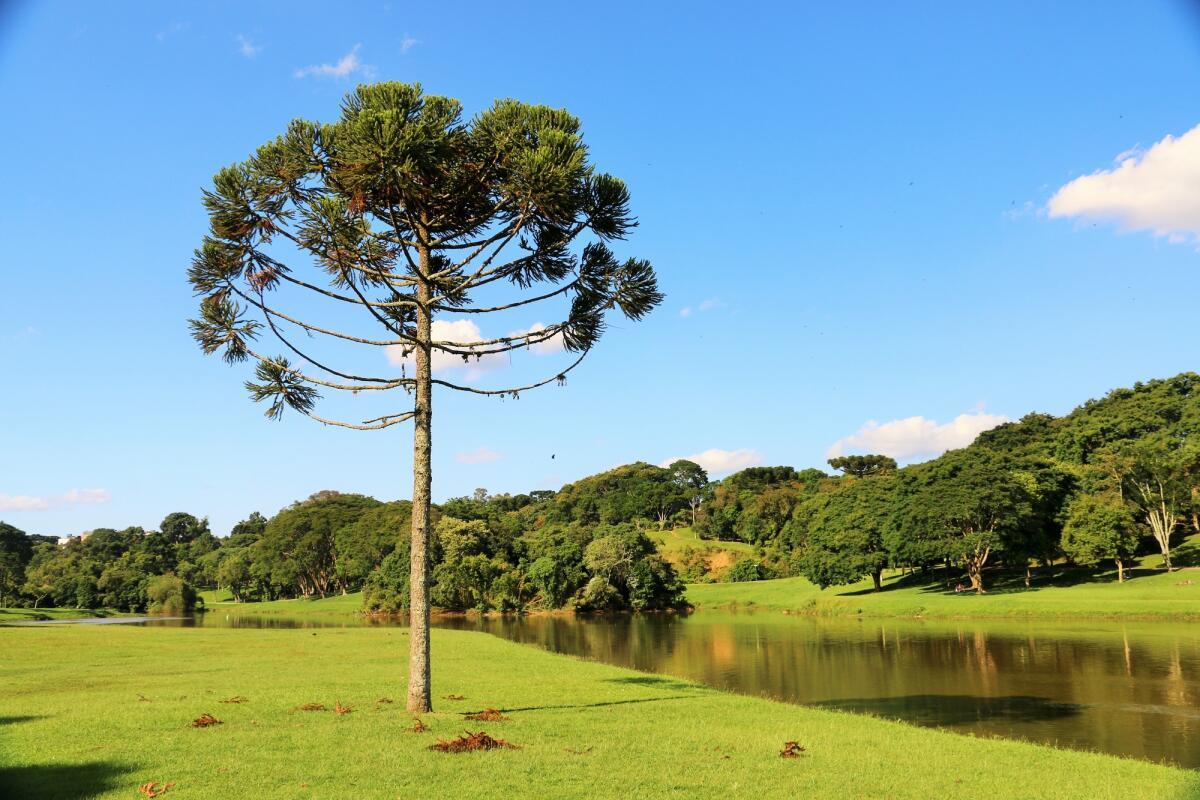 Дерево древности - араукария. Как вырастить его в квартире?