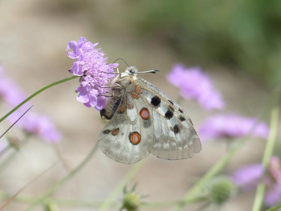 Бабочка на цветке короставника