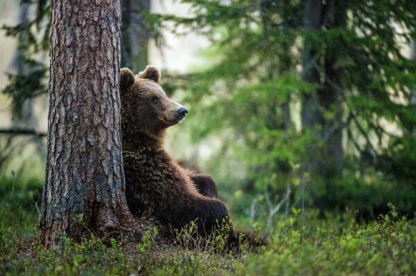 Первая любовь. Встретить медведя - к удаче?