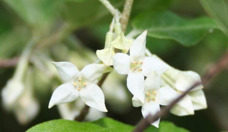 Цветы бухарской джиды