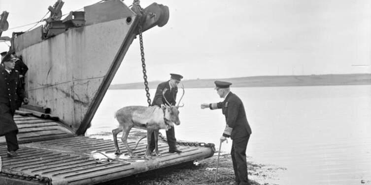 Подарок адмирала Головко олень Ольга сходит на английскую землю