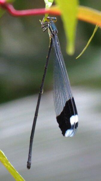Megaloprepus caerulatus имеет длину тела до 10 см