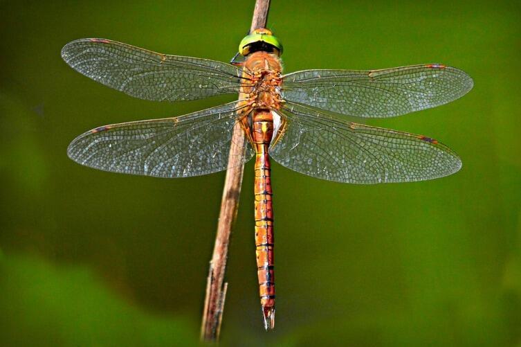Стрекозы делятся на две группы. Разнокрылые (бабки, коромысла) - имеют крупные размеры и не умеют складывать крылья. Равнокрылые (лютки, стрелки, красотки) помельче, крылья складывают, но летают похуже