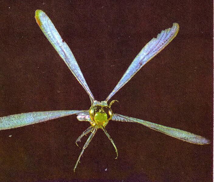 Крылья стрекозы работают поочередно