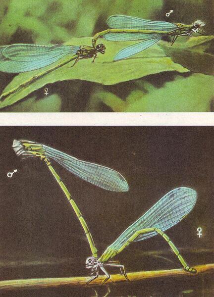 Спаривающиеся стрекозы