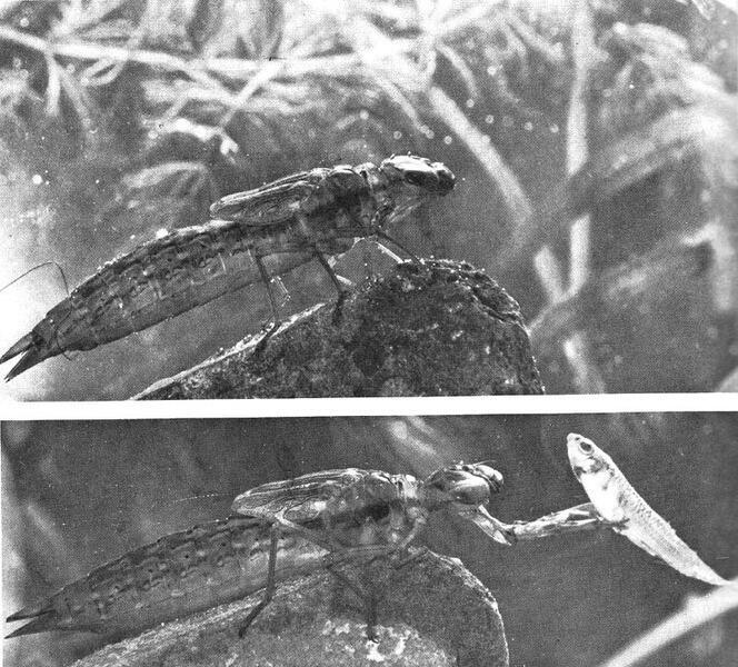 Личинка стрекозы охотится