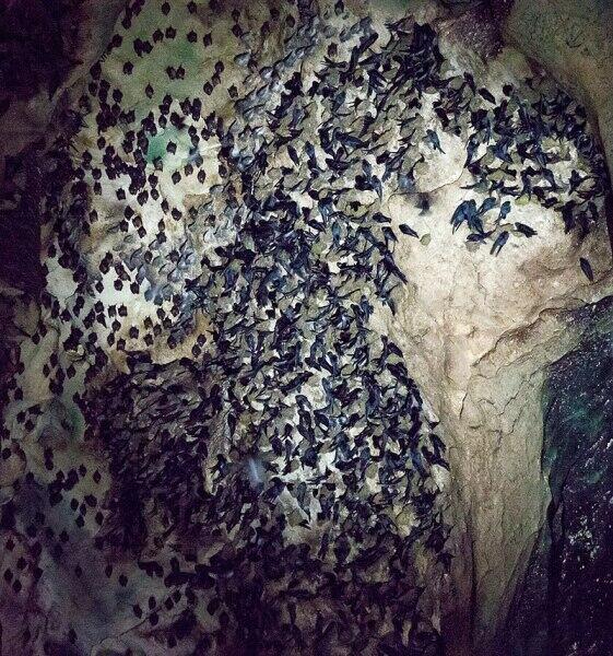 Стрижи с летучими мышами отдыхают на стенах пещеры