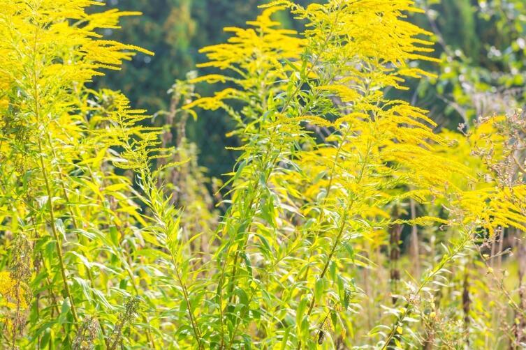 Если вернуться к вопросу о золотарнике, то нам для спасения страны от этого растения нужен единый трудовой порыв