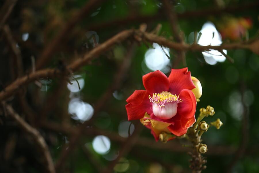 Цветущий бразильский орех