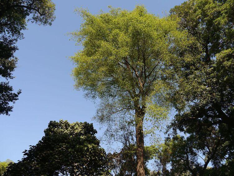 Анчар (Antiaris toxicaria)